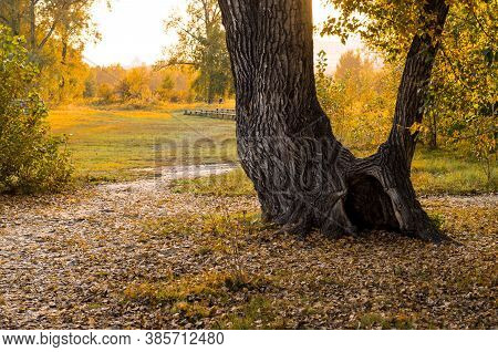 An Old Tree With A Large Hollow On The Background Of Yellowed Forest And Fallen Leaves. Autumn Lands