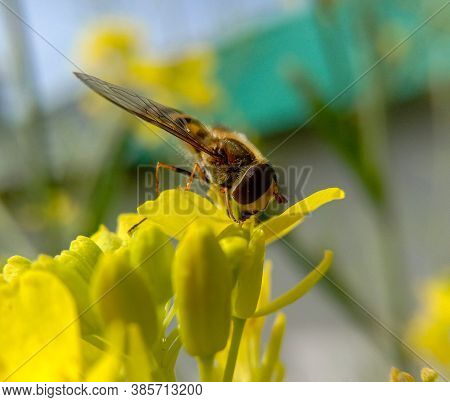 Lady Honeybee Collecting Sweet Nectar From A Yellow Flower.. Only Lady Honeybees Go Around In Search