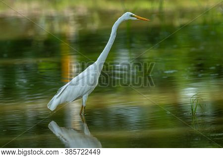 Great Egret Closeup In A Shallow Water At Keoladeo Ghana National Park Or Bharatpur Bird Sanctuary R