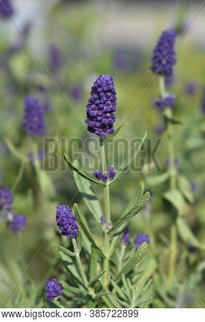 Common Lavender - Latin Name - Lavandula Angustifolia (lavandula Officinalis)