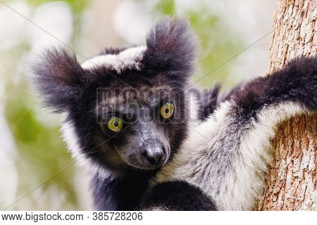 Head Of Black And White Lemur Indri (indri Indri), Also Called The Babakoto, Hanged On Tree In Natur