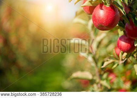 Apples on the tree. Autumn orchard