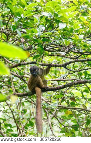 Female Of White-headed Lemur (eulemur Albifrons) On Branch In Madagascar Rainforest. Masoala Forest