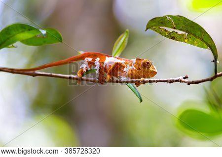 Parsons Chameleon Changing Skin, Calumma Parsonii, Amber Mountain. Andasibe - Analamazaotra National
