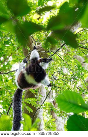 Black-and-white Ruffed Lemur (varecia Variegata Subcincta) In Natural Rainforest Habitat, Nosy Manga