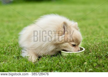 Small Cute Pomeranian Spitz Dog Is Eating From A Bowl A Dry Food On The Grass Outdoors. Feeding Pupp