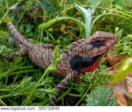 Brown Lizard On Green Grass Basking In Sunlight In Himachal Pradesh India