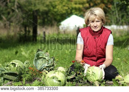 Retired Elderly Senior Woman Gardener Is Working In The Garden, Harvesting, Picking A Cabbage.