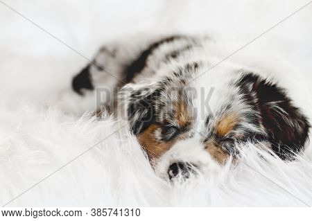 Cute Litte 8 Week Old Lying On A Fluffy White Rug, Sound Asleep. Selective Focus On The Sleeping Aus