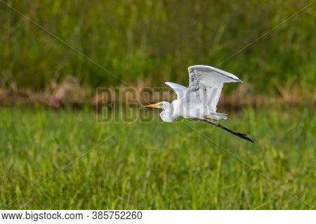 Nature Wildlife Image Of Great Egret Bird Flying Around Paddy Field