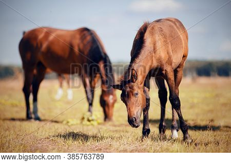 Curious Foal Grazing In The Field In The Herd. A Herd Of Sporting Horses.