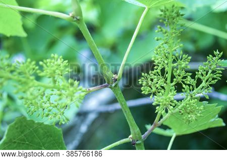 Small Grapes On A Background Of Green Leaves, Unripe Bunch Of Grapes. Small Flower Buds. Grape Flowe