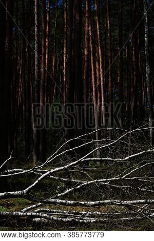 Birch Fallen Down By Fierce Tempest In The Middle Of Young Forest