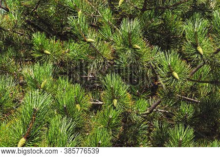 Pinus , Austrian Pine Or Black Pine Is A Species Of Pine Found In Southern Mediterranean Europe From