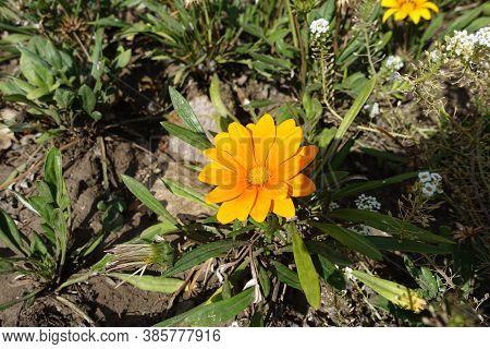 Bright Orange Flower Of Gazania Rigens In September