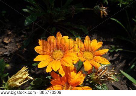 Bunch Of Three Orange Flowers Of Gazania Rigens In August
