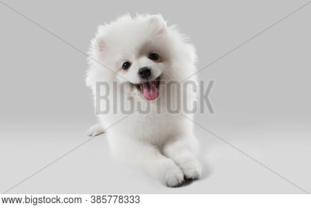 Like A Clouds. Spitz Little Dog Is Posing. Cute Playful White Doggy Or Pet Playing On Grey Studio Ba