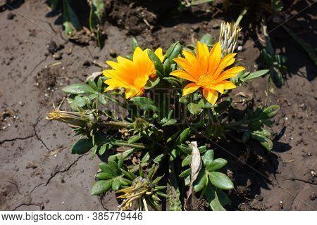 Pair Of Orange Flowers Of Gazania Rigens In July