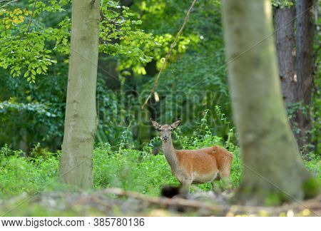 Deer Hind Coming Out Of A Meadow To Graze In The Early Evening