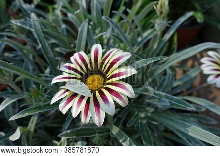One Flower Of Gazania Rigens 'big Kiss White Flame' In Mid October