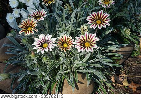 Showy Flowers Of Gazania Rigens 'big Kiss White Flame' In Mid October