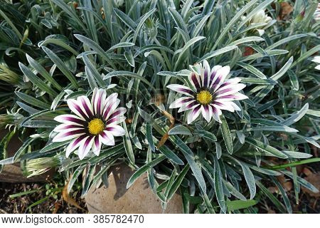 Two Flowers Of Gazania Rigens 'big Kiss White Flame' In Mid October