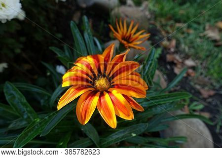 Colorful Flower Of Gazania Rigens 'big Kiss Yellow Flame' In Mid Ocotber