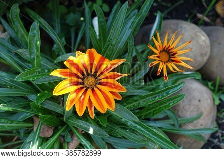 Pair Of Flowers Of Gazania Rigens 'big Kiss Yellow Flame' In Mid October