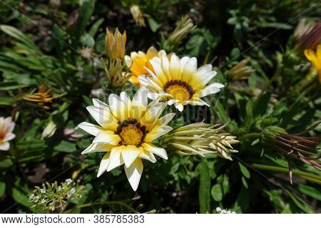 Group Of White And Yellow Flowers Of Gazania Rigens In August