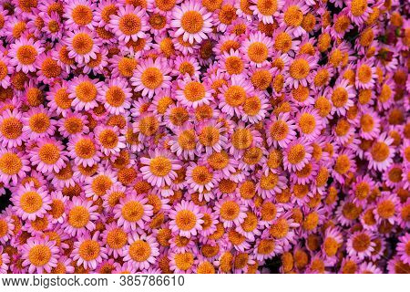 Pink Chrysanthemums With A Yellow Center Close-up. Colorful Pink Background Of Chrysanthemum Flowers
