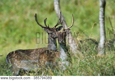 Portrait Of A Fallow Deer\'s Head With Antlers In The Forest