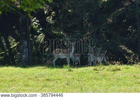 A Herd Of Fallow Deer Runs Towards The Forest