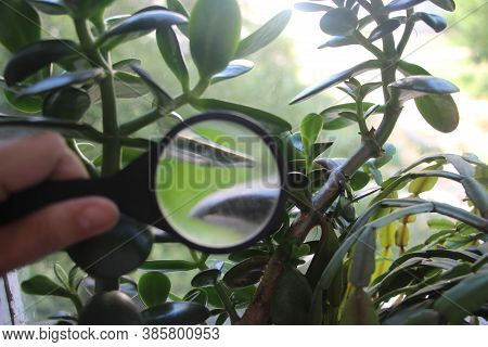 Crassula Plant Leaves Under Magnifying Glass In Hands Of Scientist Naturalist. Investigations Concep