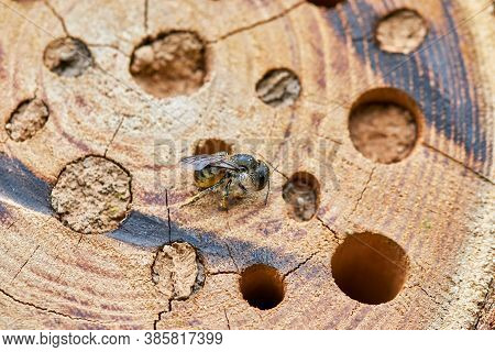 A Honeybee Sits In Front Of The Holes Of A Homemade Wooden Insect Hotel. She Has Pollen On Her Legs,
