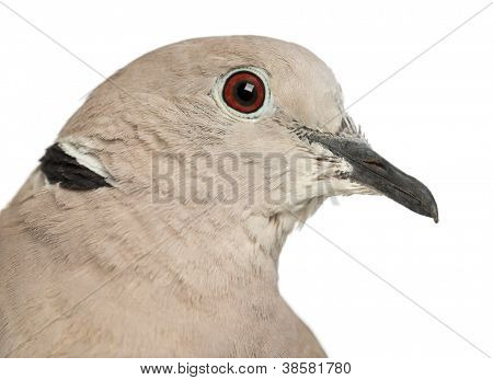 Eurasian Collared Dove, Streptopelia decaocto, often called the Collared Dove against white background