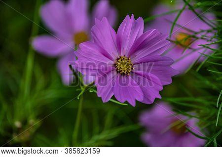 Summer Flowers Pink Cosmos Flowers - In Latin Cosmos Bipinnatus