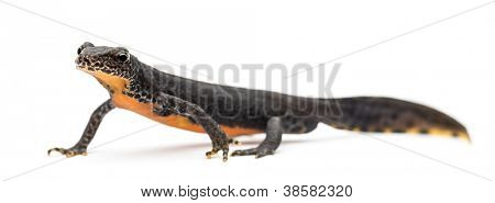 Bergmolch Ichthyosaura Alpestris, früher Triturus Alpestris und Mesotriton Alpestris gegen wh