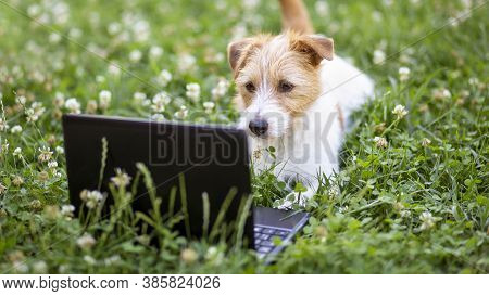 Smart Happy Obedient Jack Russell Terrier Puppy Looking To A Laptop In The Grass Ith Flowers. Pet Tr