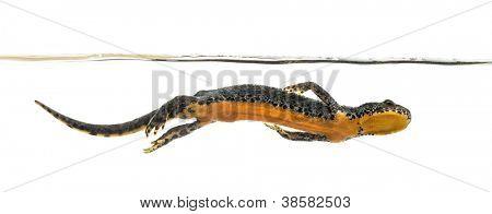 Alpine Newt swimming, Ichthyosaura alpestris, formerly Triturus alpestris and Mesotriton alpestris against white background