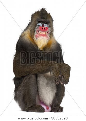 Mandrill sitting and grimacing, Mandrillus sphinx, 22 years old, primate of the Old World monkey family against white background