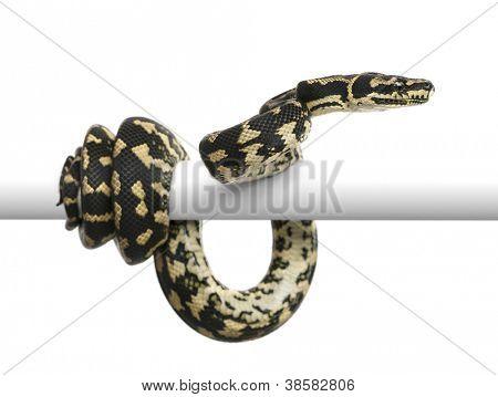 Jungle carpet python, Morelia spilota cheynei against white background
