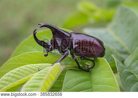 Horn Beetlel, Rhino Beetlel,horn Beetlel On The Leaf In Nature
