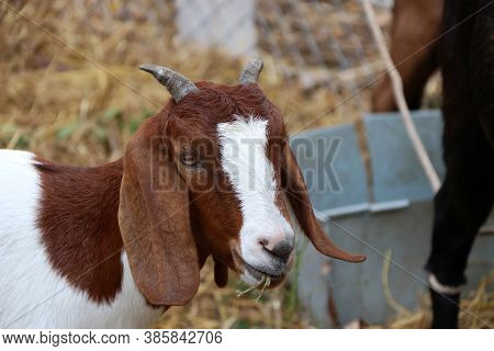 Closeup Brown And White Color Of Goat Eating The Grass In The Mouth. It Is A Hardy Domesticated Rumi