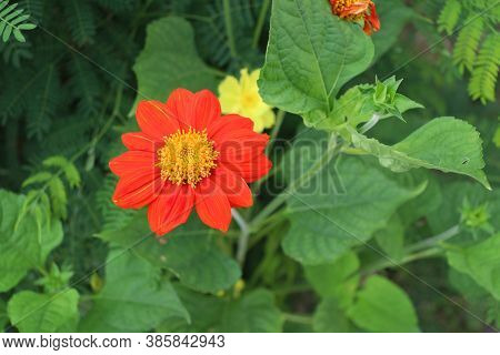 Red Gerbera And Yellow Pollen On Background Green Leaves. It Is A Plant Of The Daisy Family, Native