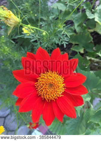 Red Daisy Gerbera Jamesoniiblossom On The Tree. Gerbera Is Very Popular And Use For An Ornamental P