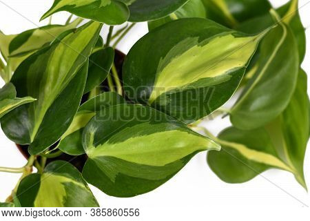 Close Up Of Leaf Of Tropical Plant Called'philodendron Hederaceum Scandens Brasil' With Yellow Strip