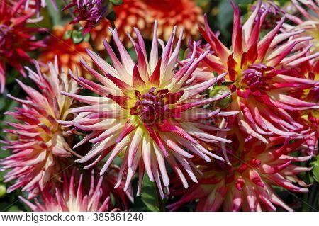Dahlie Le Feu De Soleil Autumn Flower. Beautiful Flower Background.