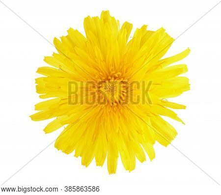 Yellow Dandelion Flower Isolated On White Background With Clipping Path