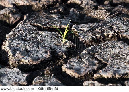 Lonely Green Sprout In Dry Cracked Ground. Green Plant Growing Through Cracks In The Ground, Nature