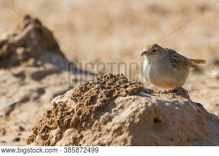 Rattling Cisticola (cisticola Chiniana) Perched On A Termite Dirt Mound In South Africa With Bokeh B